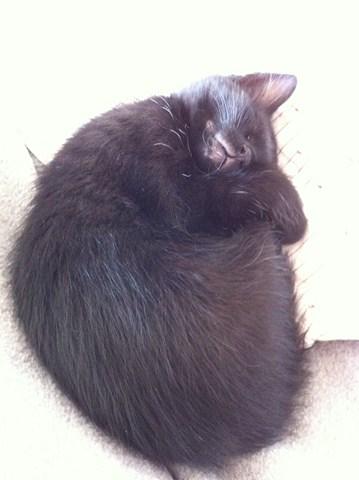 Hellia, chatonne noire née en avril 2012 Hellia12