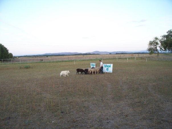 BLANC - les bergers blanc suisse au troupeau Troupe10