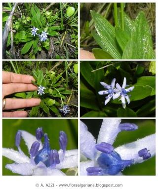 Fleur hivernale : Scilia cilicita 00100-11