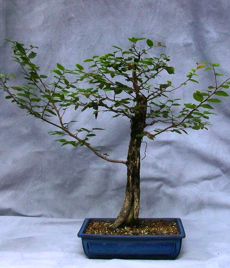 Discussion about the development of broadleaf trees. Tropical or Deciduous. Cedar_11