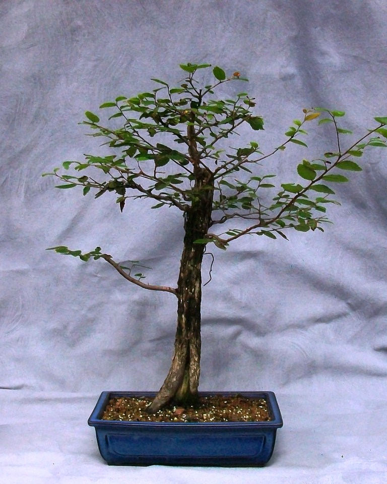 Discussion about the development of broadleaf trees. Tropical or Deciduous. Cedar_12