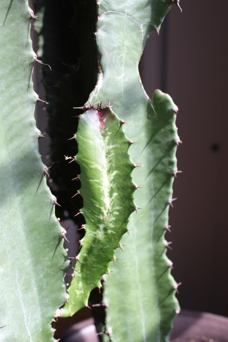 Bouts de mon cactus deviennent rouges? Img_9814