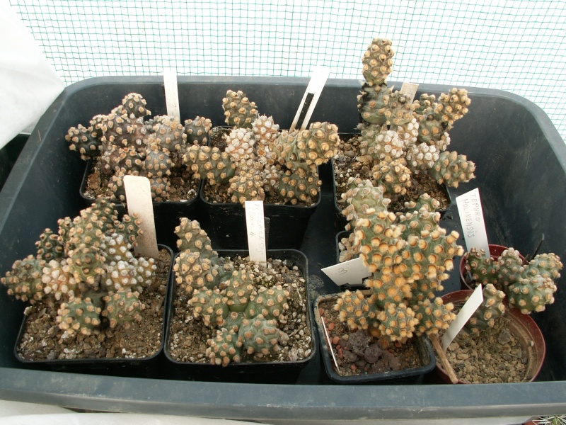 Tephrocactus molinensis Moline13