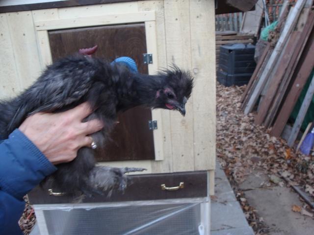 ai-je un coq qui sommeil chez une de mes poules? Dsc04311