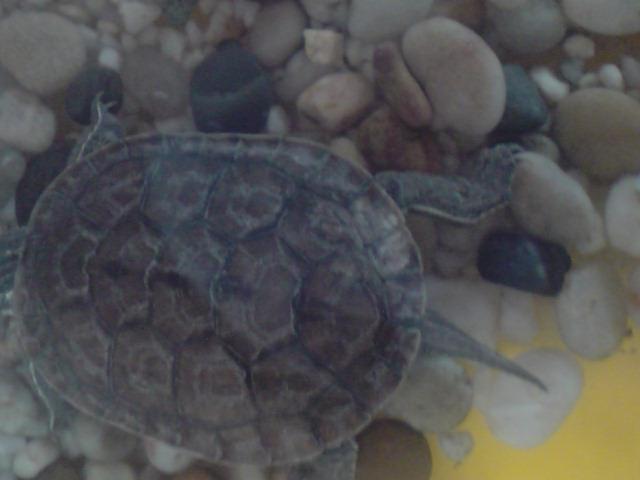 """""""Tache blanche"""" en bas de la carapace de ma tortue. Mue difficile ou mycose? P1704112"""