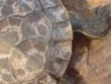 """""""Tache blanche"""" en bas de la carapace de ma tortue. Mue difficile ou mycose? P1804111"""