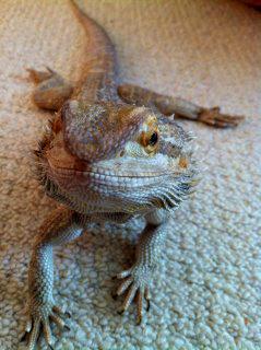 FS: Female Bearded Dragon - UK 55334611