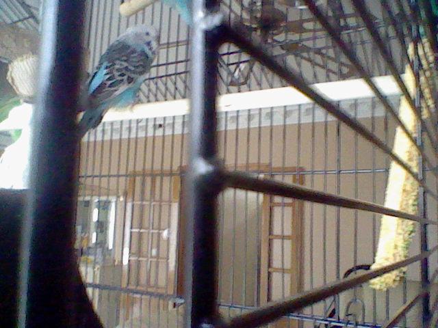 mes perruches dorment le jours Hni_0017