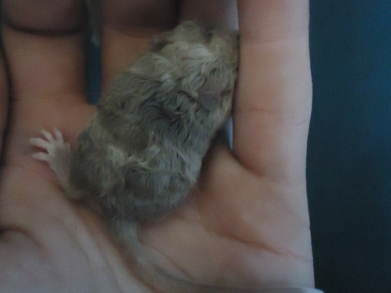 Mystery mice in my newest litter! Rich_i11