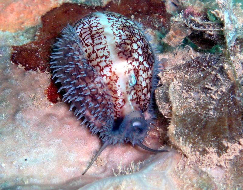 Mauritia eglantina - (Duclos, 1833) - Live Eglant10