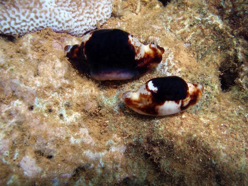 Bistolida stolida - (Linnaeus, 1758) - Niger & Live Stolid16