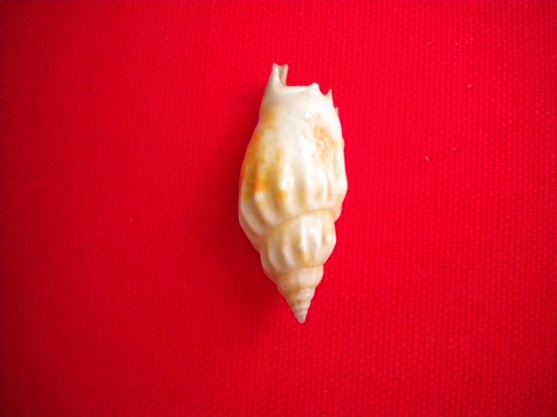 Strombidae Tridentarius dentatus - (Linnaeus, 1758) 068_8010