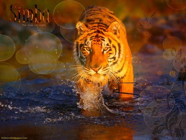 La Guerre des Miaous. Tigre-11