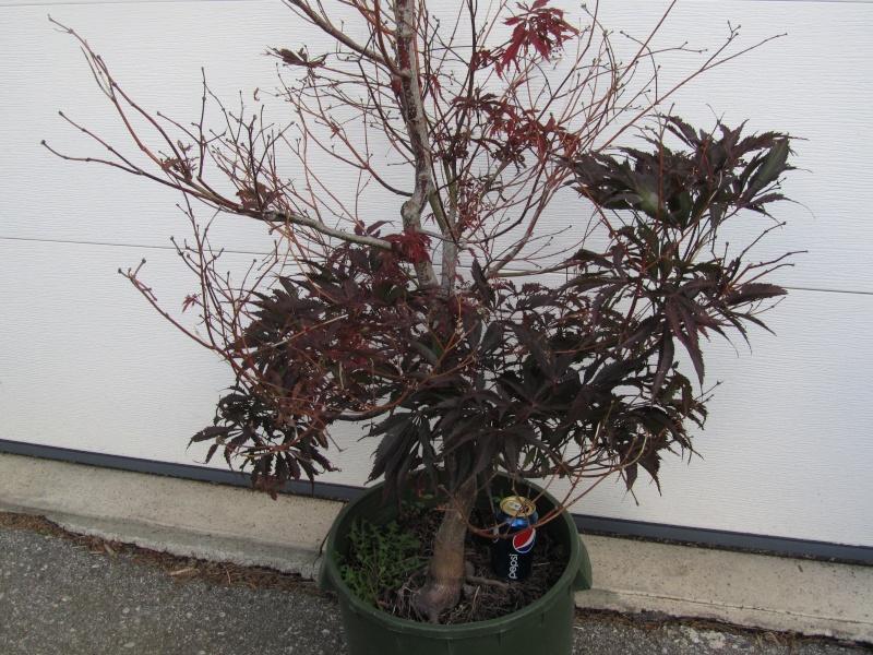 Recently acquired Acer palmatum var., (burgundy lace) atropurpureum - HELP 17312