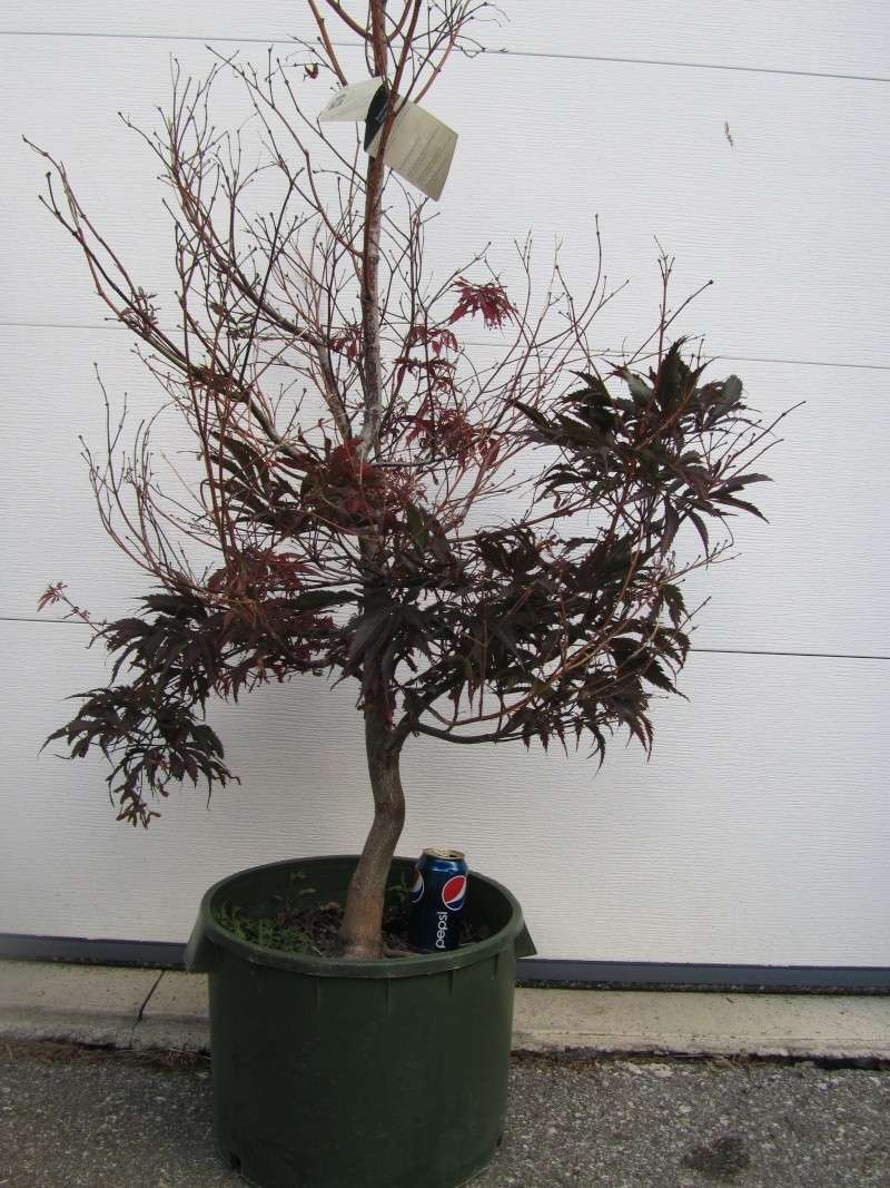 Recently acquired Acer palmatum var., (burgundy lace) atropurpureum - HELP 17515