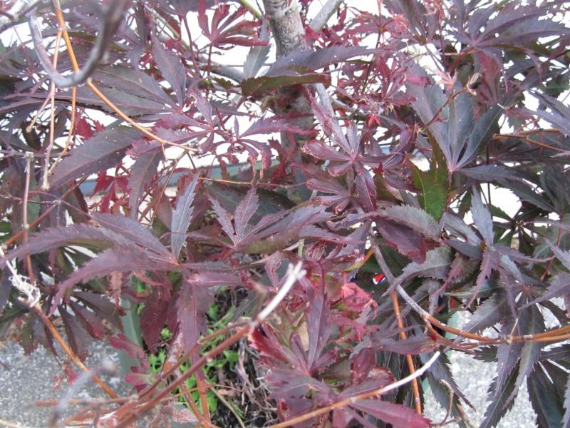 Recently acquired Acer palmatum var., (burgundy lace) atropurpureum - HELP 17612