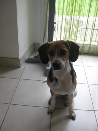 GLOUPS 1 an type beagle DEPT 29 reste avec ses maitres ! Img_1711