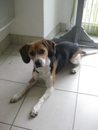 GLOUPS 1 an type beagle DEPT 29 reste avec ses maitres ! Img_1712