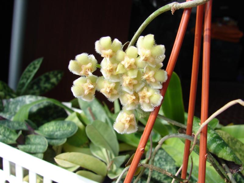 Hoyablüten 2012 - Seite 3 Dsc06817