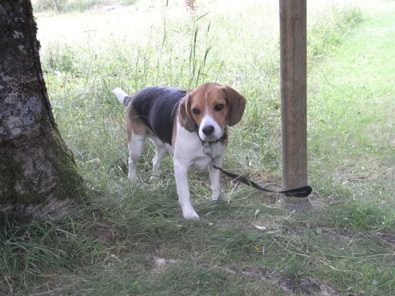 Cherche Famille pour adopter mon beagle Edgar de 3 ans et demi [ADOPTE] Rimg1711