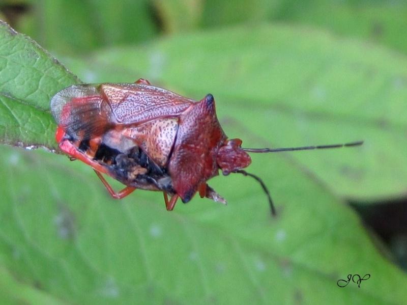 Elasmostethus    interstinctus) Punais10