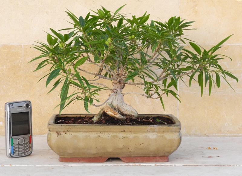 "My firs ""show"" ....  Ficus Nerifolia O_1_y10"