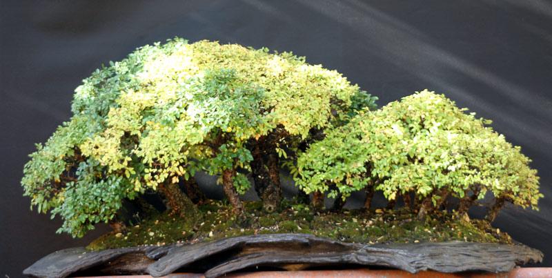 My big Zelkova Nire Forest Ulme-i11