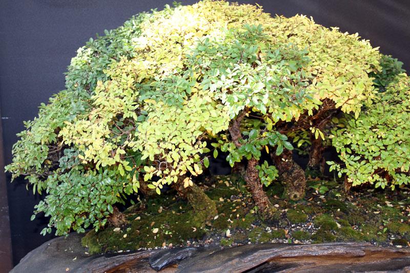 My big Zelkova Nire Forest Ulme-i14