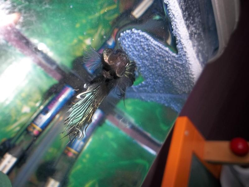 [ PHOTOS ] Les nids de bulles de nos poissons 110