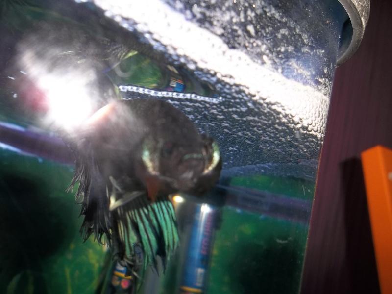 [ PHOTOS ] Les nids de bulles de nos poissons 1_210