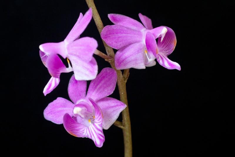 Phalaenopsis buyssoniana Phalae11