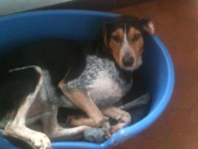 FALCKO, croisé beagle harrier/ bleu de Gascogne mâle, 11 mois (28) 00110