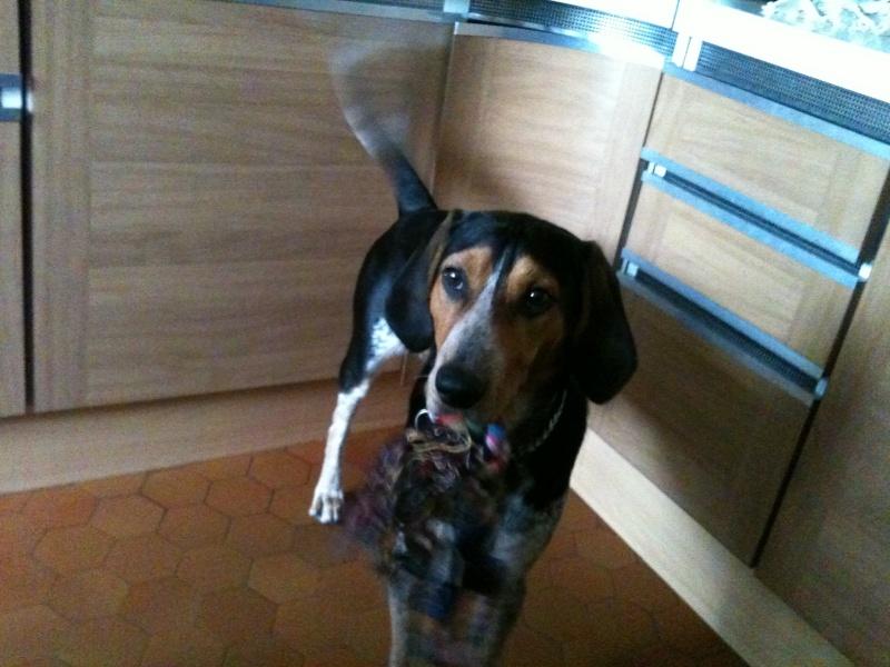 FALCKO, croisé beagle harrier/ bleu de Gascogne mâle, 11 mois (28) 012_210