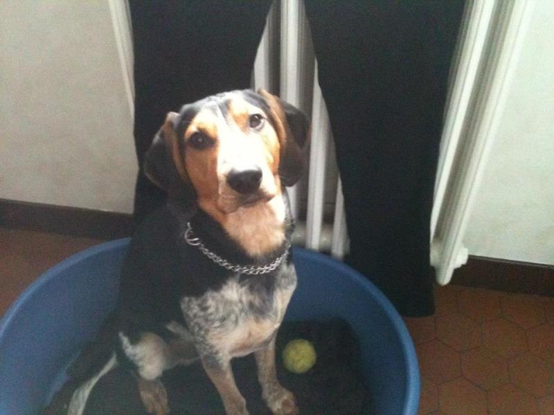 FALCKO, croisé beagle harrier/ bleu de Gascogne mâle, 11 mois (28) 55069210