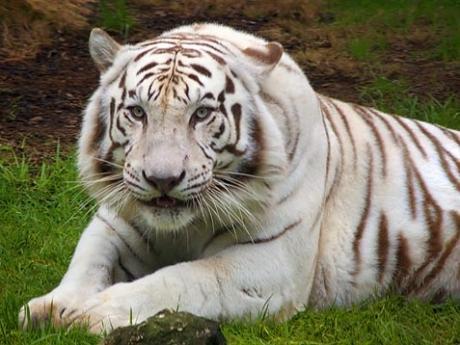 Tigre et poète Tigre-10