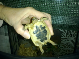 Trouvé BB tortue ne sait pas l'espèce 26112015