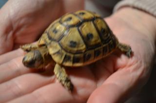Trouvé BB tortue ne sait pas l'espèce Dsc_0419