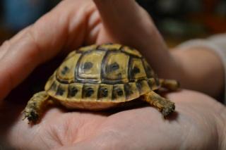 Trouvé BB tortue ne sait pas l'espèce Dsc_0421