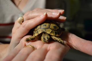 Trouvé BB tortue ne sait pas l'espèce Dsc_0422