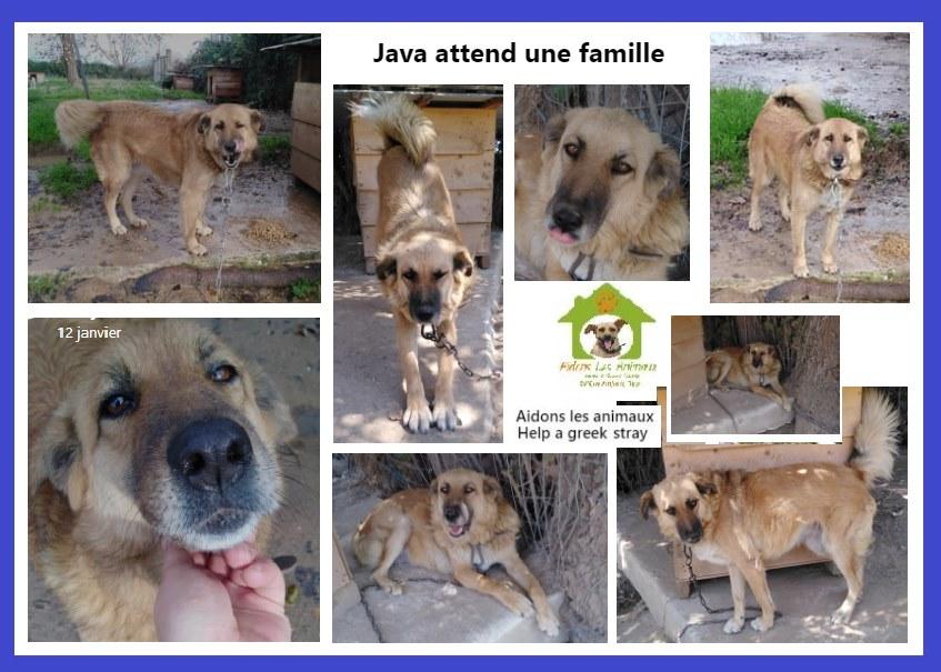 JAVA - x berger ? de 2015 - Asso Aidons les Animaux à Pyrgos (Grèce) en fa en region parisienne  15312910