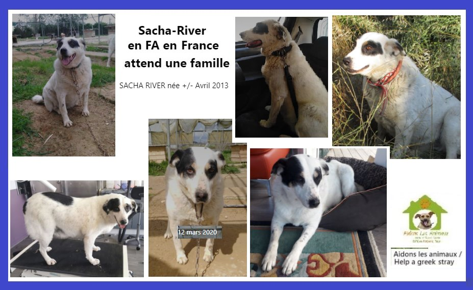 SACHA RIVER -   8 ans (7 ans  de refuge)  Aidons les Animaux Pyrgos (Grece) A13
