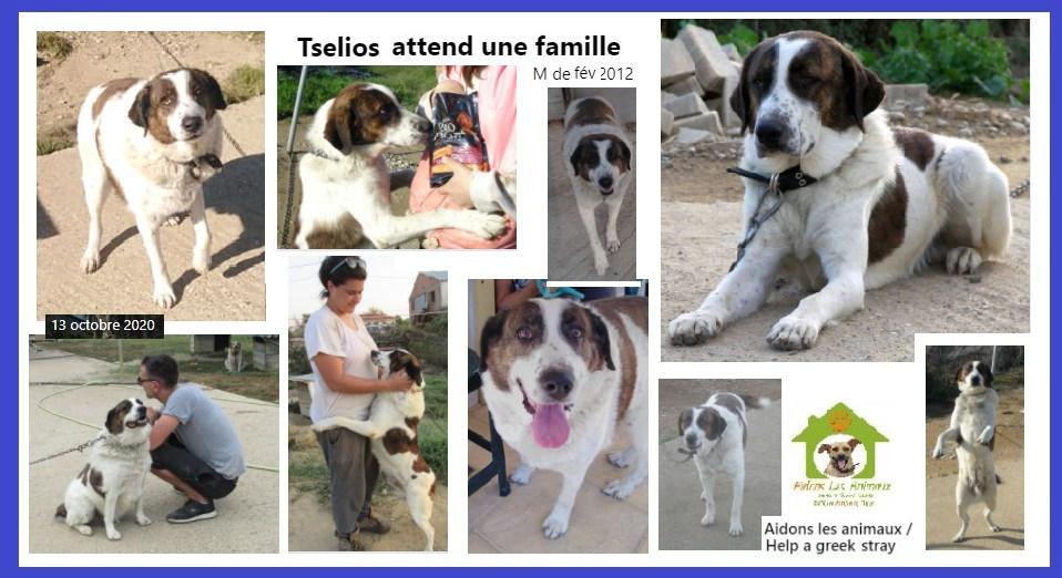TSELIOS - x    8 ans (7 ans de refuge) Asso Aidons les animaux à Pyrgos(Grece) A15