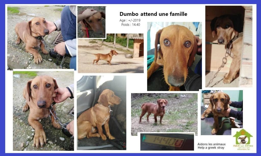 DUMBO - x teckel ? 2 ans -  - Asso Aidons les Animaux à Pyrgos (Grèce) en fa Belgique  A30