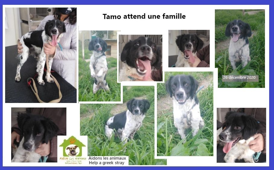 TAMO - x épagneul breton ? de 2020 - Aidons les Animaux - Pyrgos (Grèce) A43