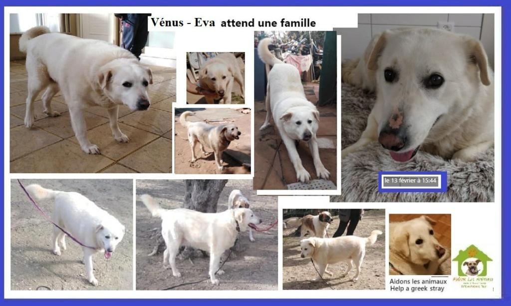 VENUS - x labrador blanc  7 ans- URGENCE FA - Aidons les Animaux - Pyrgos (Grèce) A44