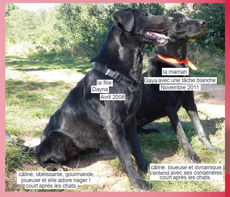 GAYA - x labrador 8 ans  (6 ans de refuge) - Spa Les Murailles à Nimes (30) Captur14