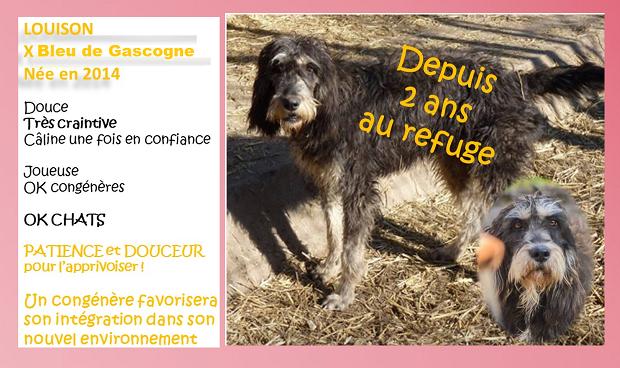LOUISON - x griffon bleu de Gascogne 5  ans  (4 ans de refuge) - Refuge Spa Les Murailles à Nimes (30) Louiso10
