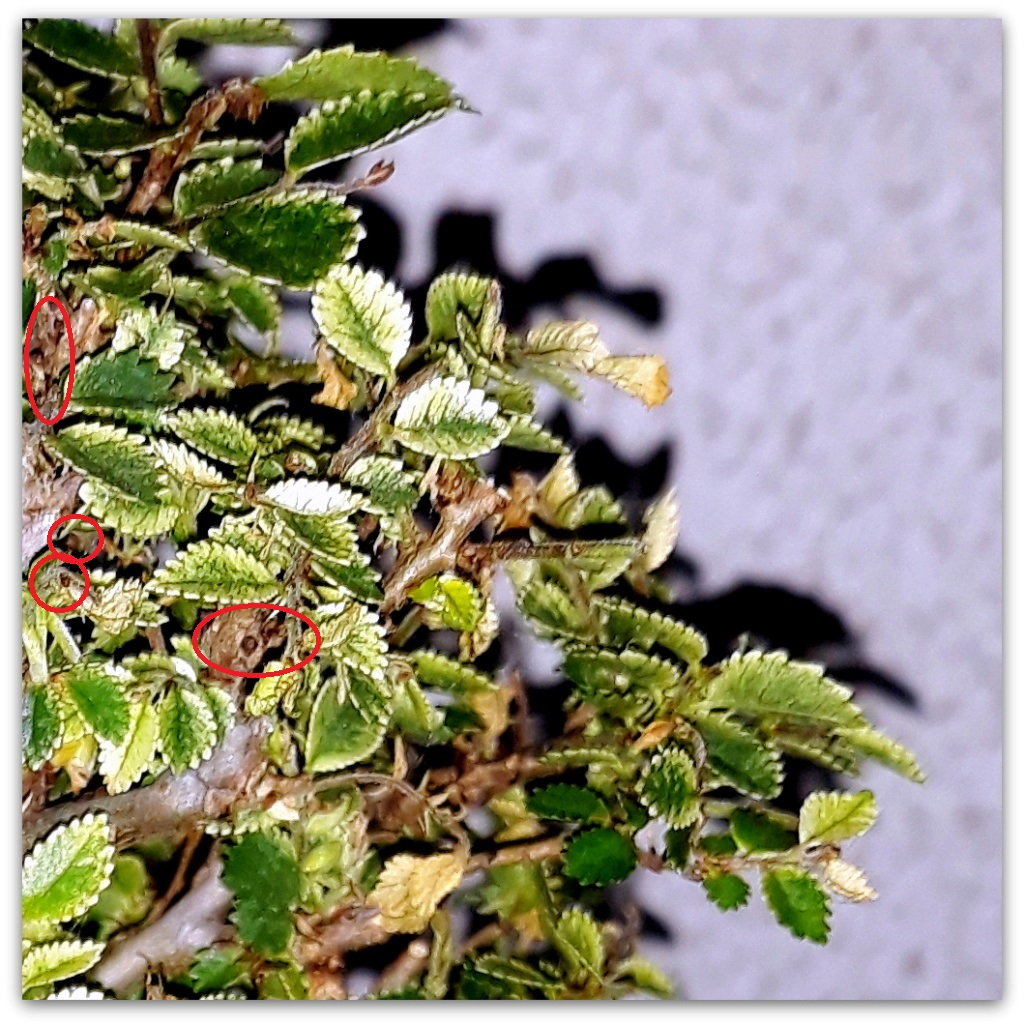 Ulmus parvifolia shohin 20190510