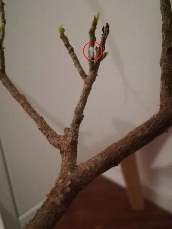 Ficus Ginseng grande - foliazione molto faticosa e filetti bianchi J43f7z10