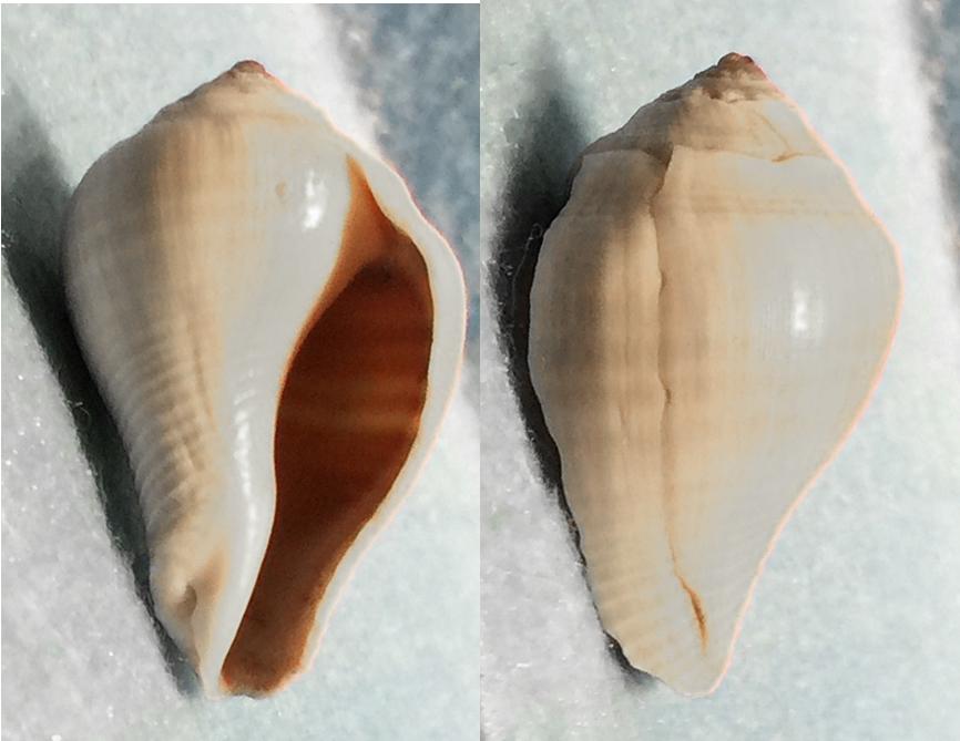 Volema paradisiaca (Melongenidae) 0110